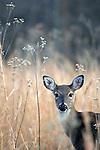 A white tail deer stares directly in to the lens. Location: Stone Mountain State Park, North Carolina, USA