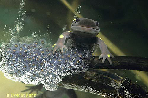 SL06-023x   Salamander - spotted salamander female laying eggs - Ambystoma maculatum