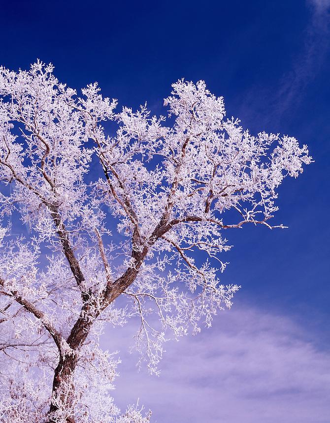 Oak tree with hoarfrost, Winneshiek County, Iowa