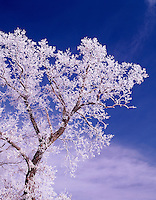 Oak tree with hoarfrost, Winneshiek County, Iowa