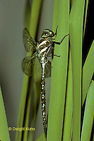 1O11-017b   Black-tipped Mosaic Darner Dragonfly just emerged from nymph skin - Aeshna tuberculifera