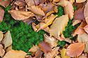 Dead beech leaves lying on Polytrichum Moss {Polytrichum commune} on forest floor. Peak District National Park, Derbyshire, UK. October.