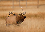 A bull elk smells the air; cows give off a scent signaling their readiness for breeding.   During the elk rut ,bulls assemble harems of up to 60 cows and will vigorously defend these harems from other bulls, Yellowstone National Park, Wyoming, USA, October 5th, 2009.  Photo by Gus Curtis
