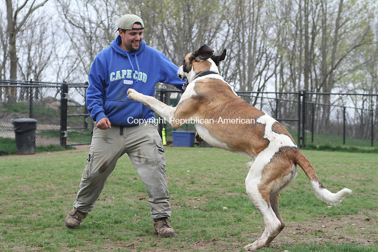 NAUGATUCK, CT, 28 April, 2017 - 042817HOLW07 - John Charland plays with Ollie, a 1-year-old St. Dane at the Naugatuck Dog Park Thursday afternoon. Laraine Weschler Republican-American