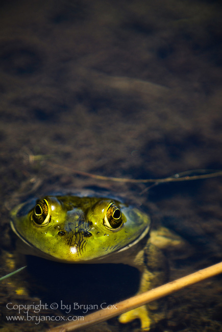 Bullfrog, Tahkenitch lake, Oregon