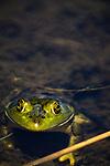 Bullfrog, Tahkenitch lake, Oregon