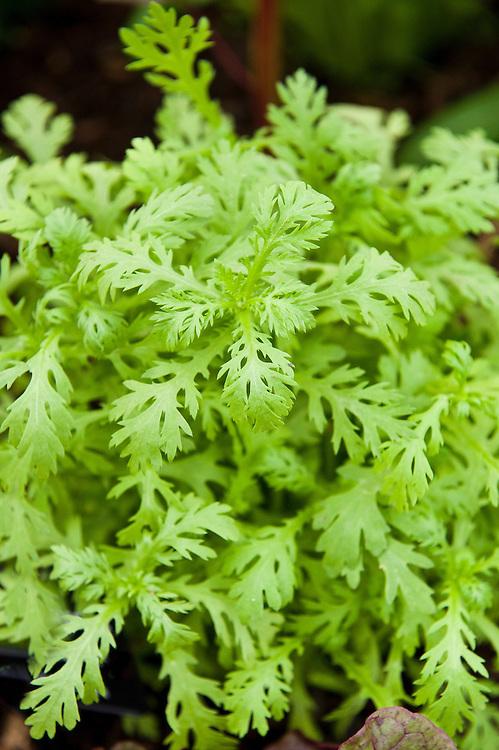 Chop suey greens (Chrysanthemum greens, Glebionis coronaria syn. Chrysanthemum coronarium). Also known as edible chrysanthemum or chrysanthemum greens. Use baby leaves  in raw salads, or steam, lightly boil or stir-fry.