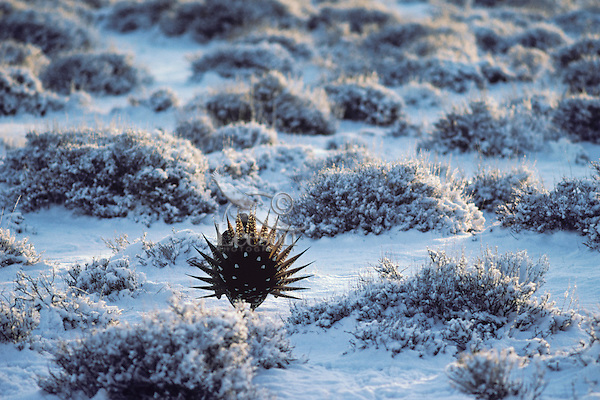 Male Sage Grouse strutting on snow covered lek.  Western U.S., March.