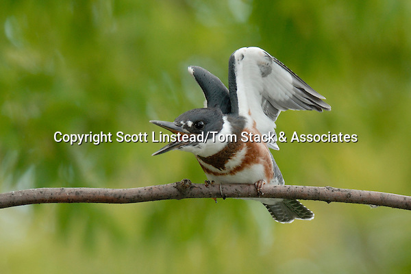 Belted Kingfisher juvenile female is stretching