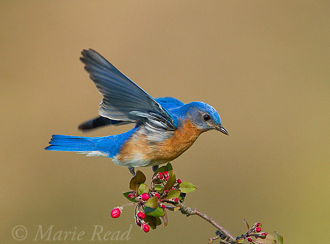 Eastern Bluebird (Sialia sialis) male taking off from twig with crabapple flower buds in spring, New York, USA<br /> (Digitally retouched image - space added top and bottom.