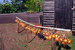 AJDJ67 Line of onions drying Suffolk country garden
