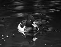 Ring-necked ducks are among the more striking residents at Reifel Bird Sanctuary in winter.<br />