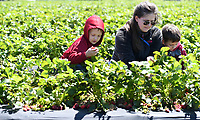 NWA Democrat-Gazette/J.T. WAMPLER Debbie Myers of Lowell (center) picks strawberries with her sons Luke, 5, (left) and Titus, 7, Thursday May 4, 2017 at McGarrah Farms strawberry field in Lowell. The field should yield fruit until the end of May. There will the Inaugural Strawberry Festival at the field located at 702 S. Bloomington St. on May 13 and will include free strawberry shortcake, a bounce house for kids, a money haystack and other activities. For more information about the festival see the McGarrah Farms Facebook page.