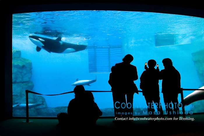 Japanese aquarium visitors taking pictures of orca, Orcinus orca, and bottlenose dolphins, Tursiops truncatus, with cellular phones, Japan