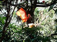 CALI - COLOMBIA, 30-06-2016: Ibis Rojo, especie de ave presente en el oeste de Cali. / Ibis Rojo, bird species present in west of Cali Photo: VizzorImage / Dario Ramirez / Cont.