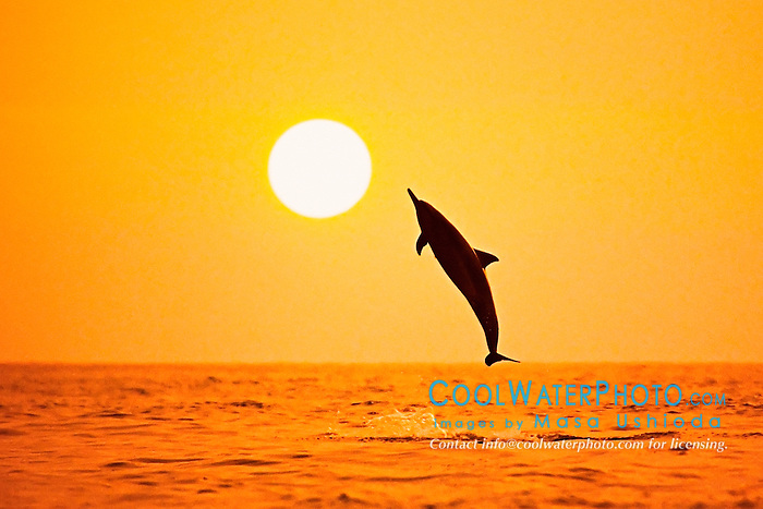 silhouette of Hawaiian spinner dolphin, Stenella longirostris longirostris, leaping at sunset, Kealakekua Bay, Big Island, Hawaii, USA, Pacific Ocean, digital composite