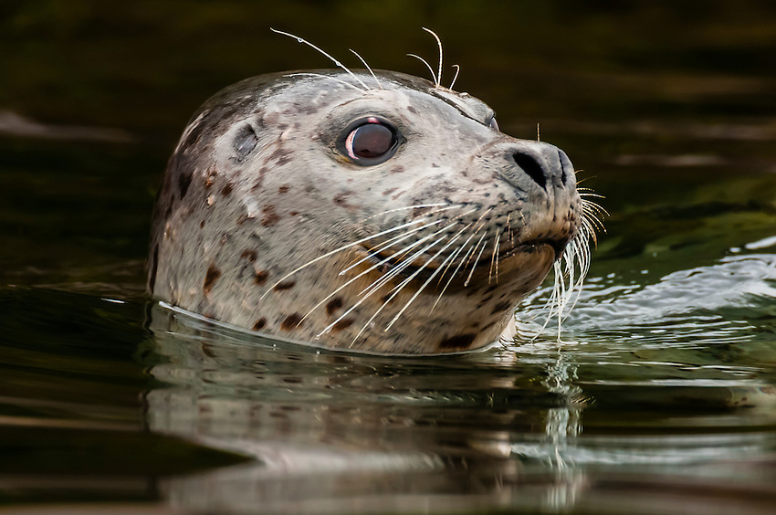 Harbor seal, Freshwater Bay, Chichagof Island, Inside Passage, Southeast Alaska USA.