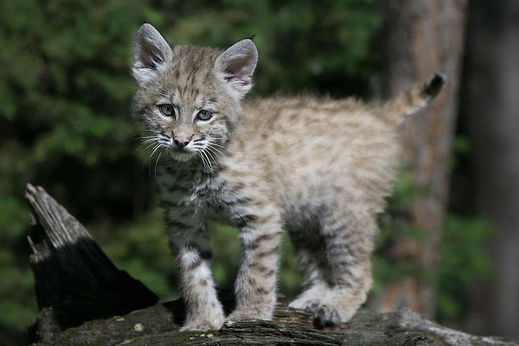Bobcat kitten walking across the top of a log - CA