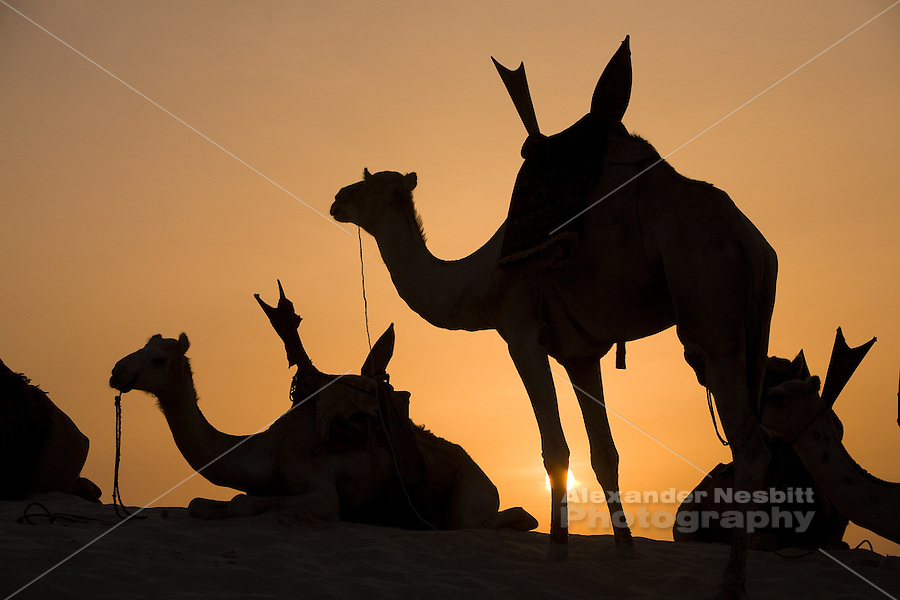 Essakane, Mali, West Africa - The local Taureg men arrive by camel to the Festival Au desert.