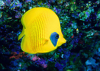Red-lined Butterfly fish in the Red Sea