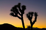 Twilight over Joshua Tree, Joshua Tree National Park, California