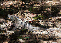 The black iguana (ctenosaur) is a large lizards commonly found near coastal areas and in the rainforest.
