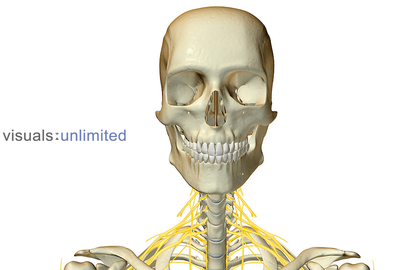 An anterior view of the nerve supply of the head and neck.   Royalty Free