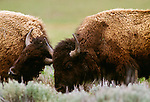 American bison, Yellowstone National Park, Wyoming