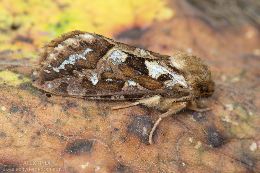 Map-winged Swift {Hepialus fusconebulosa} moth. Peak District National Park, Derbyshire, UK. June.