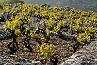 Croatie/Dalmatie/Primosten: Le vignoble - Plantation des pieds de vigne dans un carré encerclé de pierre