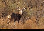 Mule Deer, Bosque del Apache Wildlife Refuge, New Mexico