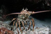 Caribbean Spiny Lobster, Panulirus argus