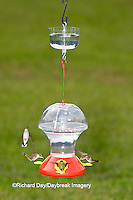 01162-12508 Ruby-throated Hummingbirds (Archilochus colubris) at feeder with ant guard,  Marion Co.  IL