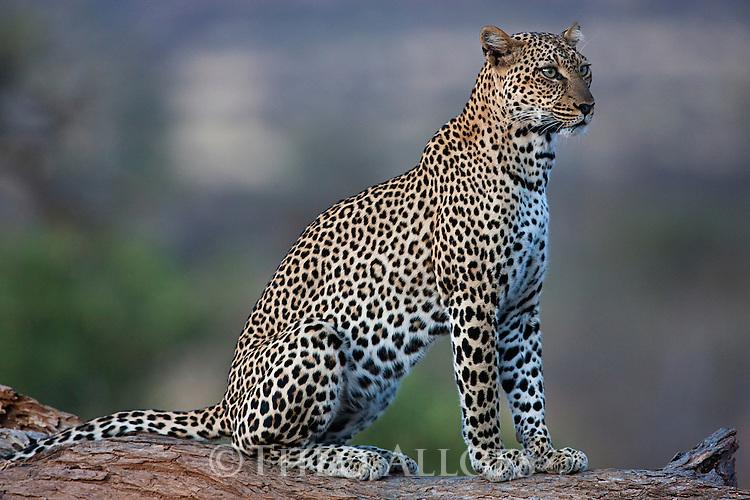 Kenya, Samburu, leopard sitting on fallen tree trunk