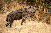 Spotted Hyena (Crocuta crocuta), also known as the laughing hyena. Ngorongoro Tanzania Africa
