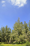Israel, Shephelah, Pine trees in Maresha forest