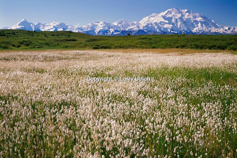 Scheuchzer's cottongrass<br />   and Mt. McKinley from near Wonder Lake<br /> Alaskan Range<br /> Denali National Park, Alaska
