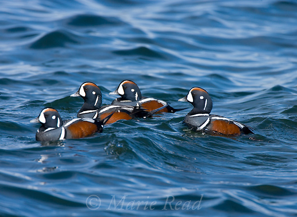 Harlequin Ducks (Histrionicus histrionicus), group of four males in breeding plumage, Barnegat Inlet, New Jersey, USA