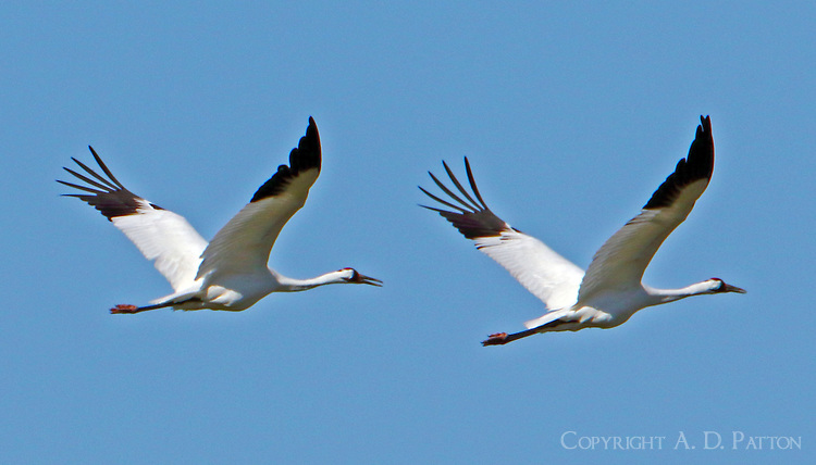 Whooping crane pair flying