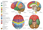Accurately depicts the brain from four different views using color-coding to show the anatomy and functional areas.  Labels for the cerebral cortex, cerebellum, brainstem, frontal lobes, temporal lobes, parietal lobes, occipital lobes and pituitary gland.  To the left are color-code keys depicting functional areas for vision, association, motor function, Broca's speech, hearing, emotions, sensation, smell, written language, cognition and base motor functions like balance, equilibrium and posture.