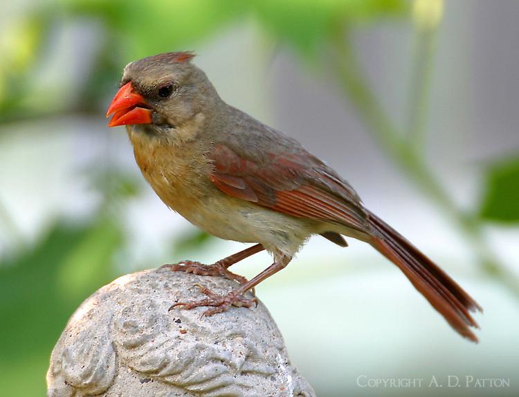 Adult female northern cardinal on bird bath figurine head