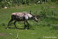 1221-1001  Male Woodland Caribou (Forest Caribou or Reindeer), Shedding Winter Coat, Rangifer tarandus  © David Kuhn/Dwight Kuhn Photography