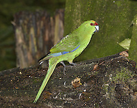 Yellow-crowned Parakeet - Cyanoramphus auriceps