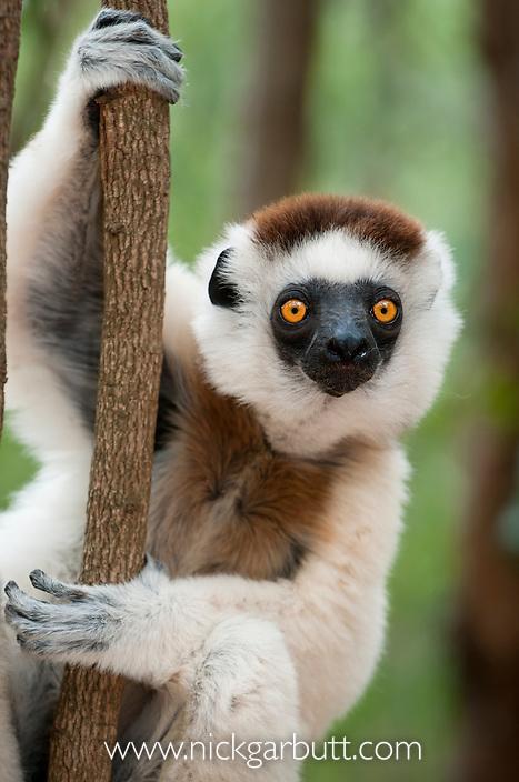 Male Verreaux's Sifaka (Propithecus verreauxi) Kirindy Forest, western Madagascar.