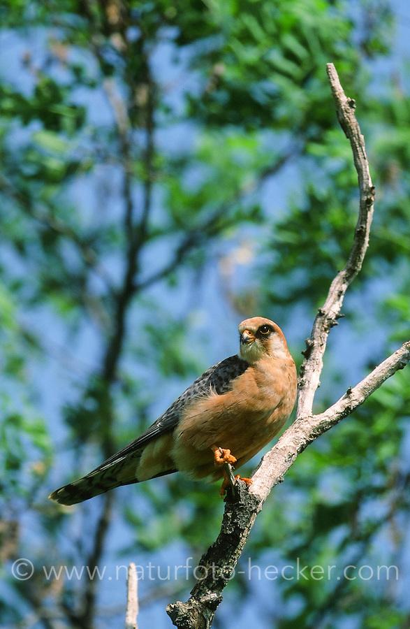 Rotfußfalke, Weibchen, Falken, Falke, Falco vespertinus, red-footed falcon, western red-footed falcon, female, Le Faucon kobez
