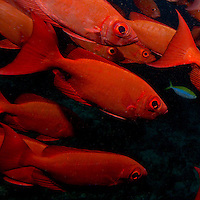 Images of fish and coral reefs in the Maldives atolls of the Indian Ocean