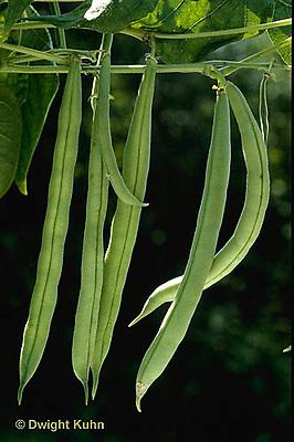 HS30-001b  Bean - provider variety