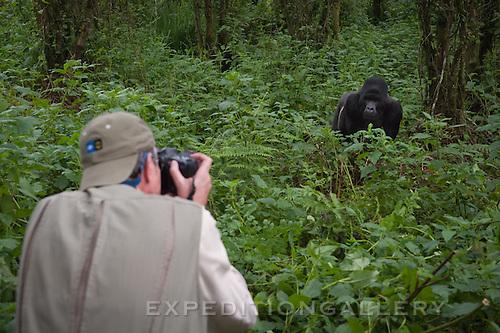 Large silverback gorilla approaches. Parc National des Volcans (Volcanoes National Park)