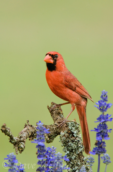 511650071 a wild male northern cardinal cardinalis cardinalis perches on a dead lichen covered mesquite branch among blue wildflowers in the hill country of central texas