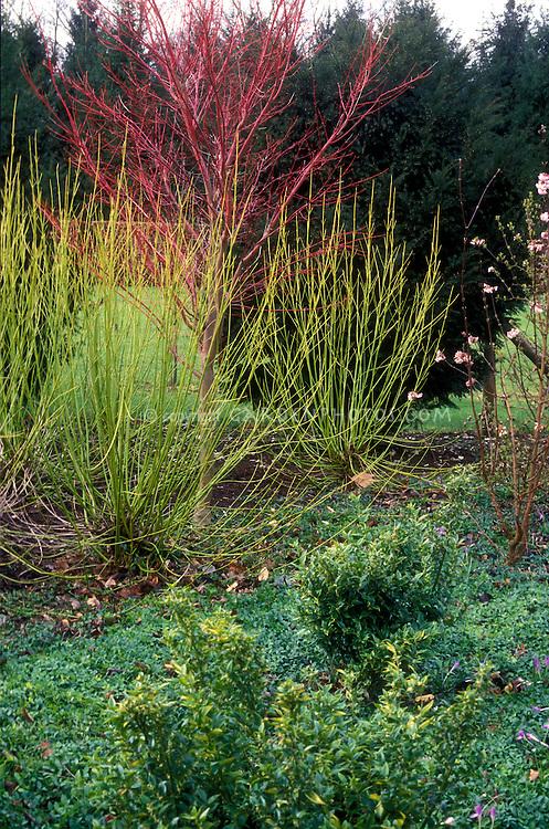 Yellow twig dogwood & Acer Sango Kagu, winter interest ...